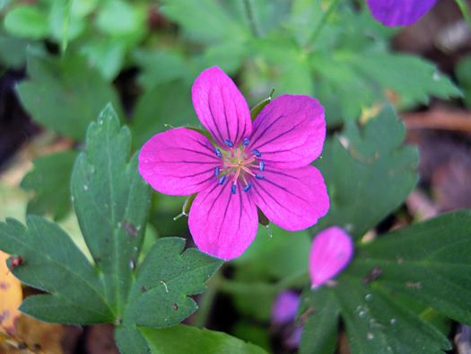 ゲンノショウコのピンクの花。