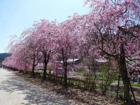 新庄村 しだれ桜通り#2