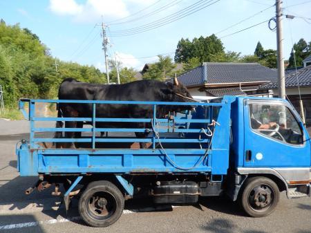 牛突きの牛#3