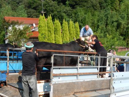牛突きの牛