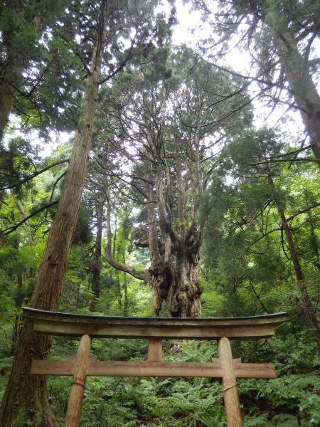 岩倉の乳房杉#2