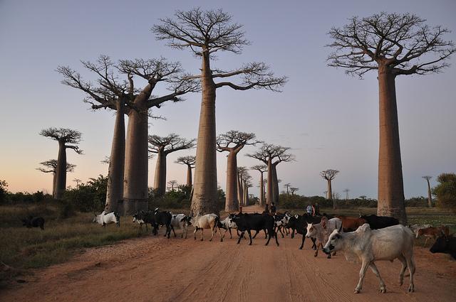 baobab-avenue_4.jpg