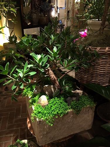ガジュマル 盆栽仕立て セネギネラ