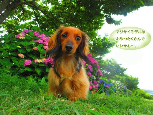 2016-6-ajisai24.jpg
