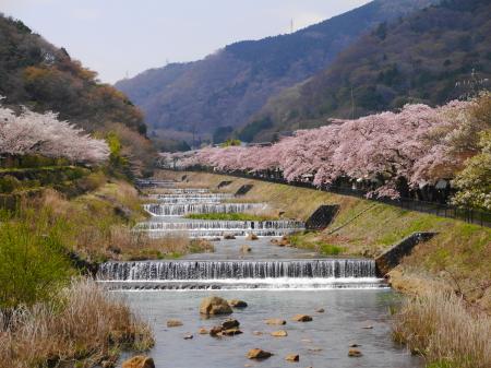 早川堤桜並木を望む