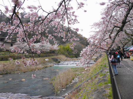 早川堤の桜