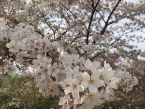 20160416-桜咲く