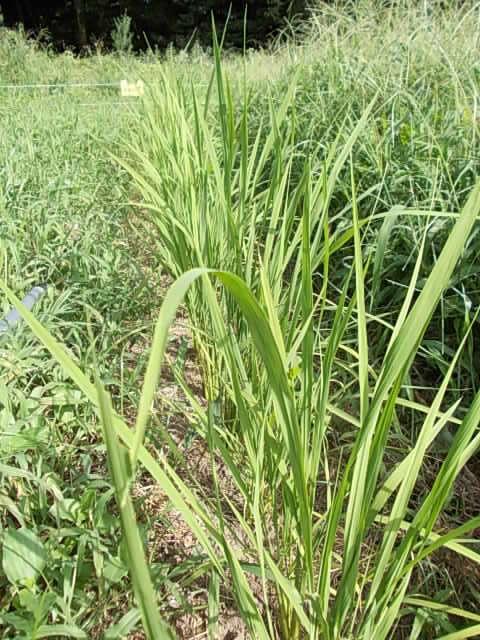 Isehikari rice 20160806