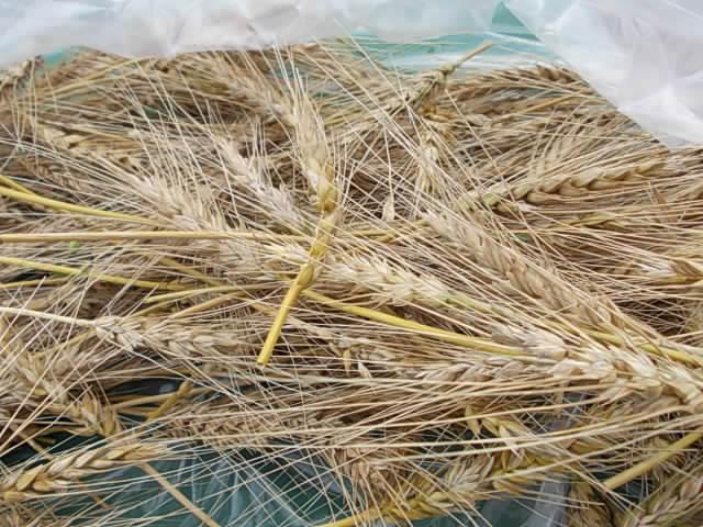 Wheat Minaminokaori 20160608-2