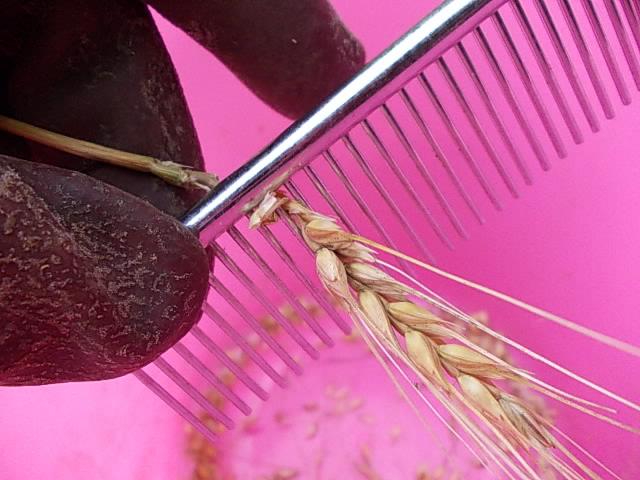 Wheat Minaminokaori 20160611-3
