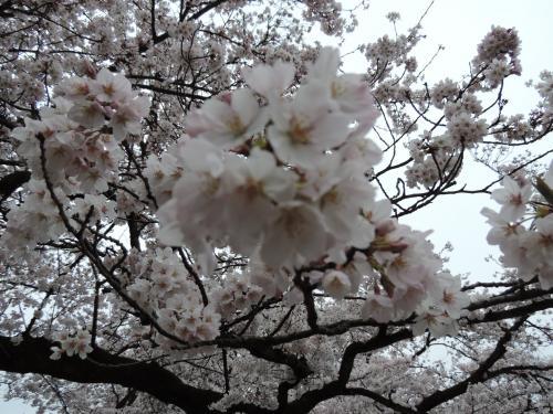 お花見2016