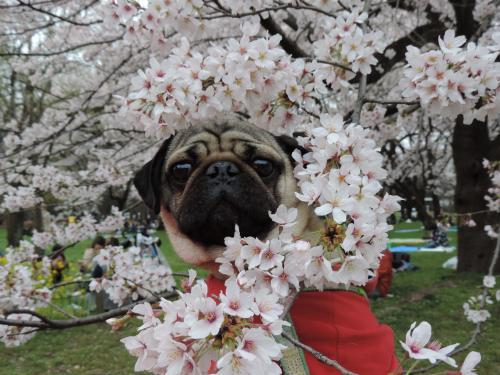 お花見2016⑥