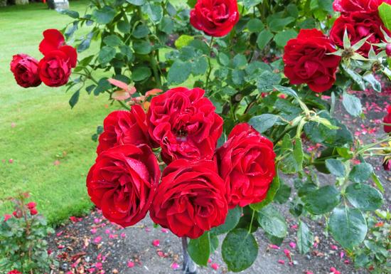 oamaru-rose.jpg