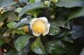 28お茶の花