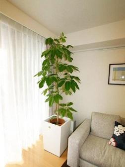 リビング観葉植物1