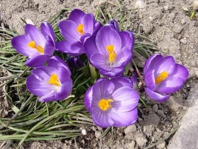クロッカス・紫