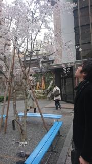 六角堂の桜と俺