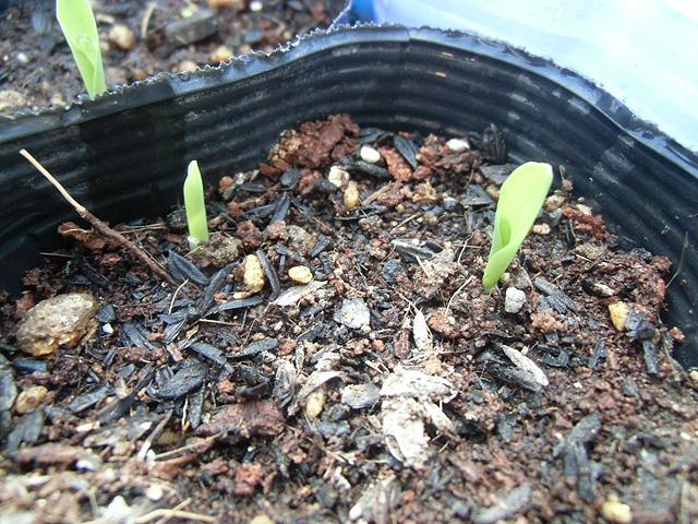 トウモロコシの発芽