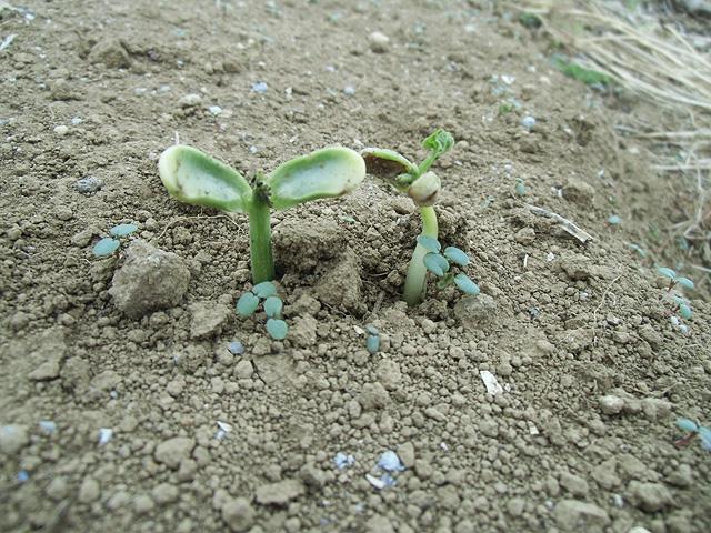インゲンの発芽