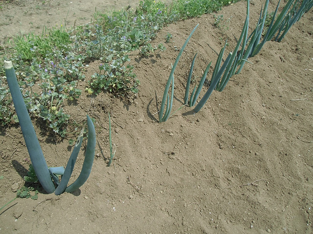 ネギの除草と土寄せ