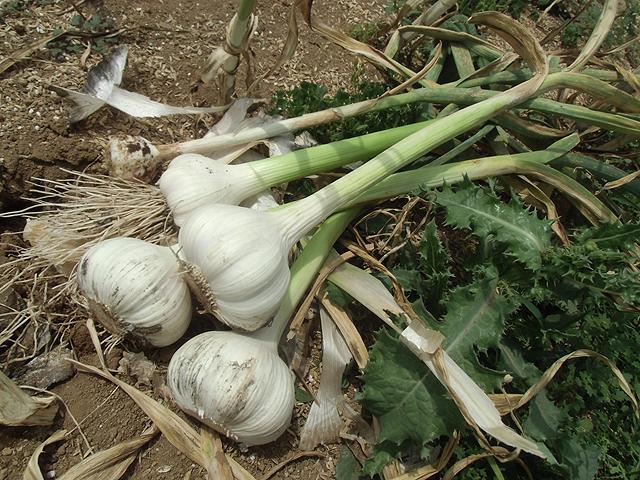 ニンニクの収穫