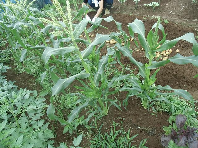 トウモロコシの花