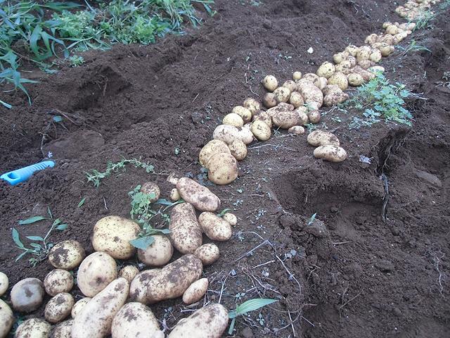 今年のジャガイモは小さい