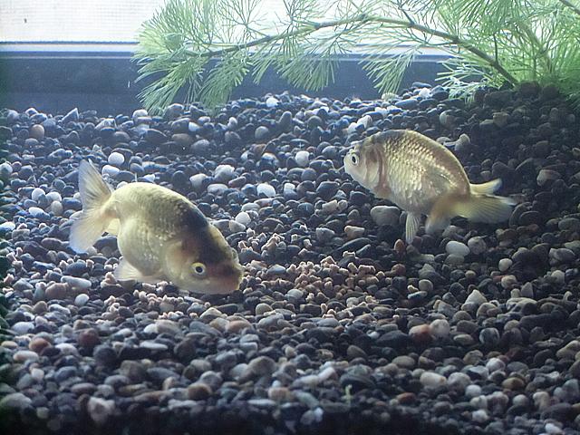 二匹の金魚
