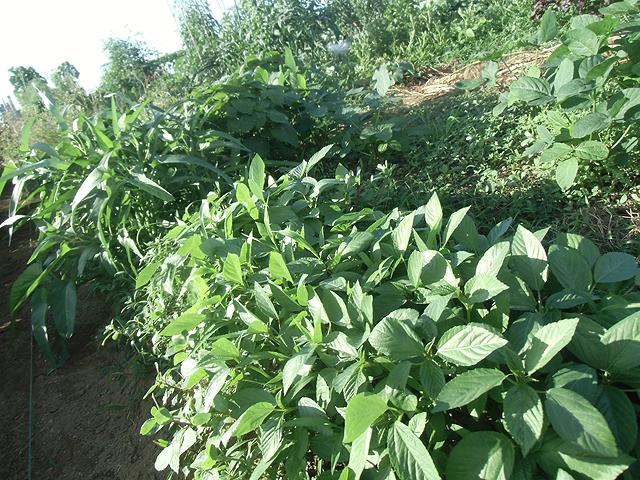 南方野菜の季節がやってきた