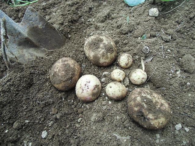 掘り損じのジャガイモ