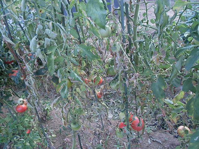 枯れ行くトマト