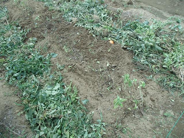 トマトの整地