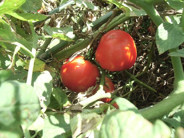 陰で赤く熟すトマト