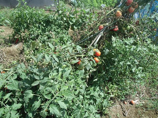 倒壊したトマト