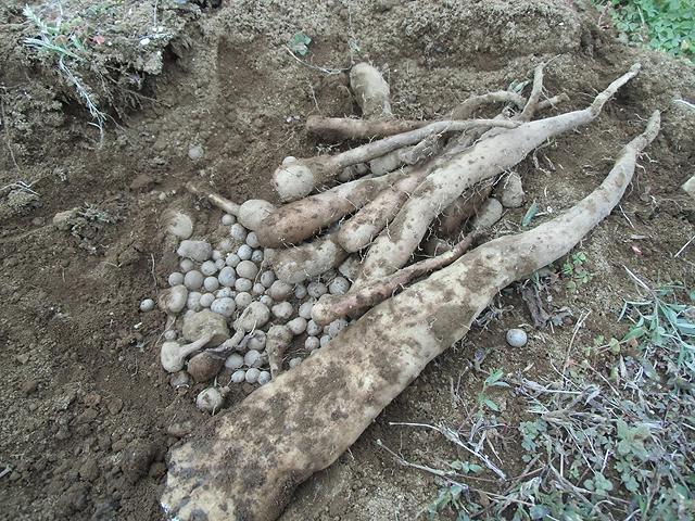 掘ったナガイモ