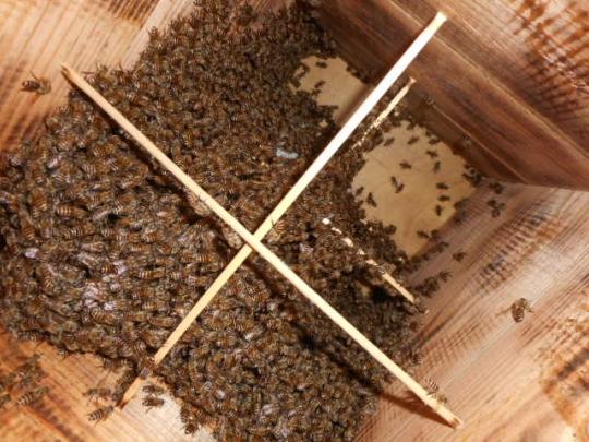 日本蜜蜂捕獲群孫分蜂7-1