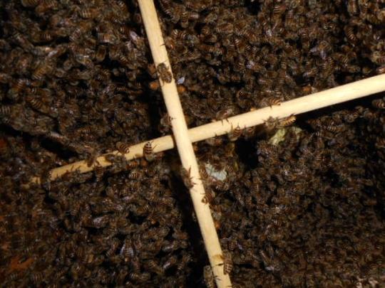 日本蜜蜂捕獲群1