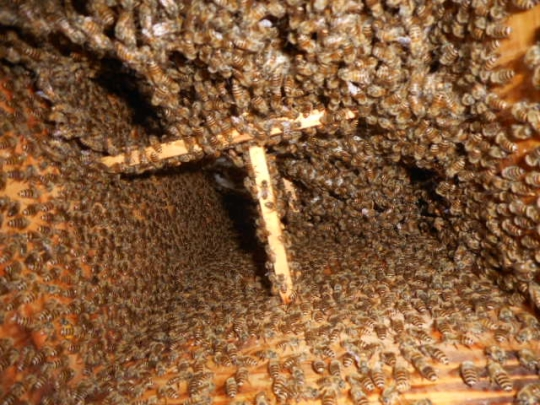 日本蜜蜂捕獲群2