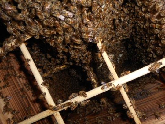 日本蜜蜂捕獲群3