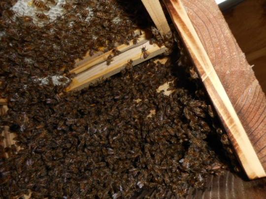日本蜜蜂捕獲群6