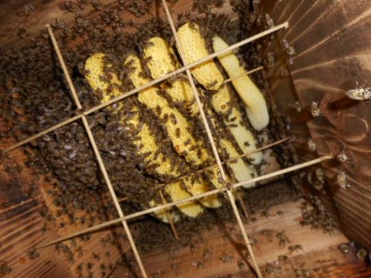 日本蜜蜂捕獲群7