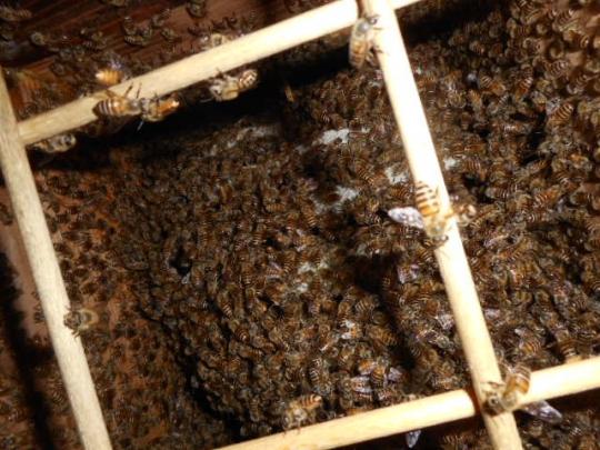 日本蜜蜂捕獲群8