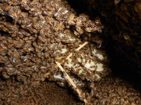 日本蜜蜂捕獲群孫分蜂8-1