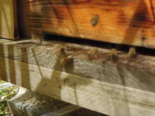 日本蜜蜂 分蜂1 H280415