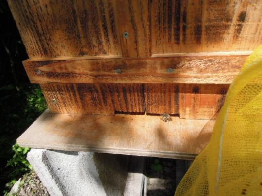 日本蜜蜂 分蜂2 H280415