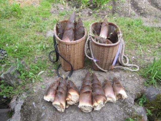 筍 タケノコ 竹の子 収獲H289426