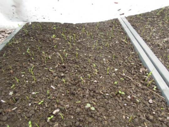種籾の発芽 H280429