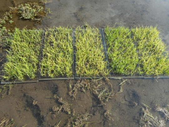 稲を田に搬出 H280519