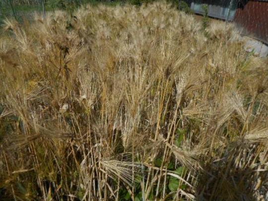 六条大麦 収獲 H2806