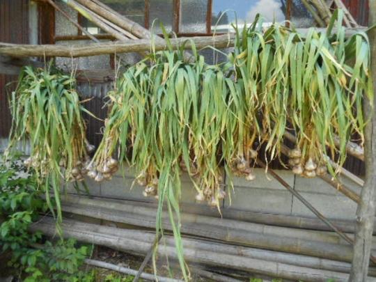 大蒜の収獲 H280602